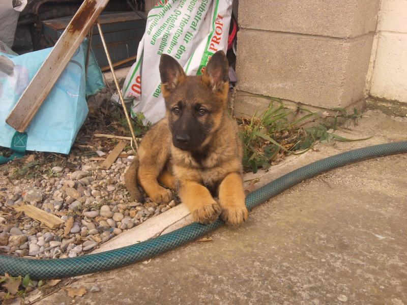 Is My Female German Shepherd A Sable And If So What Kind
