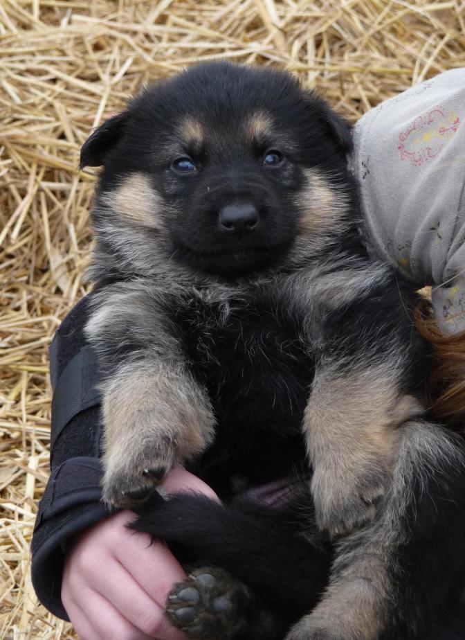 Happiness Is A Warm Fuzzy Puppy German Shepherd Dog Forums