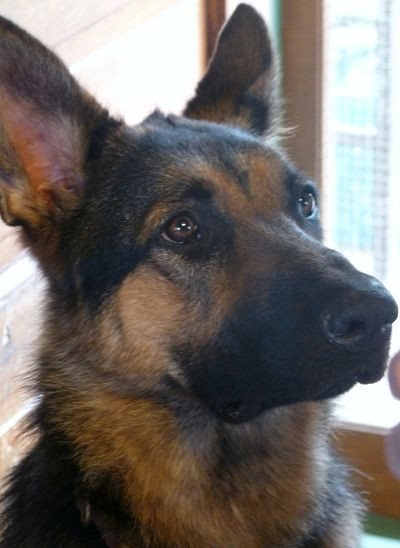 SHOW ME: Those GSD eyes!!-p1060158_opt.jpg