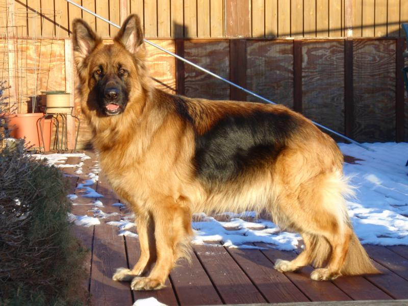Black And Tan Vs Black And Red German Shepherd Dog Forums