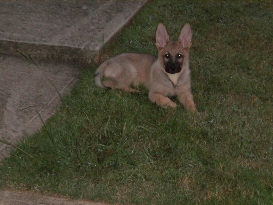 sable color change german shepherd dog forums - Sable Color