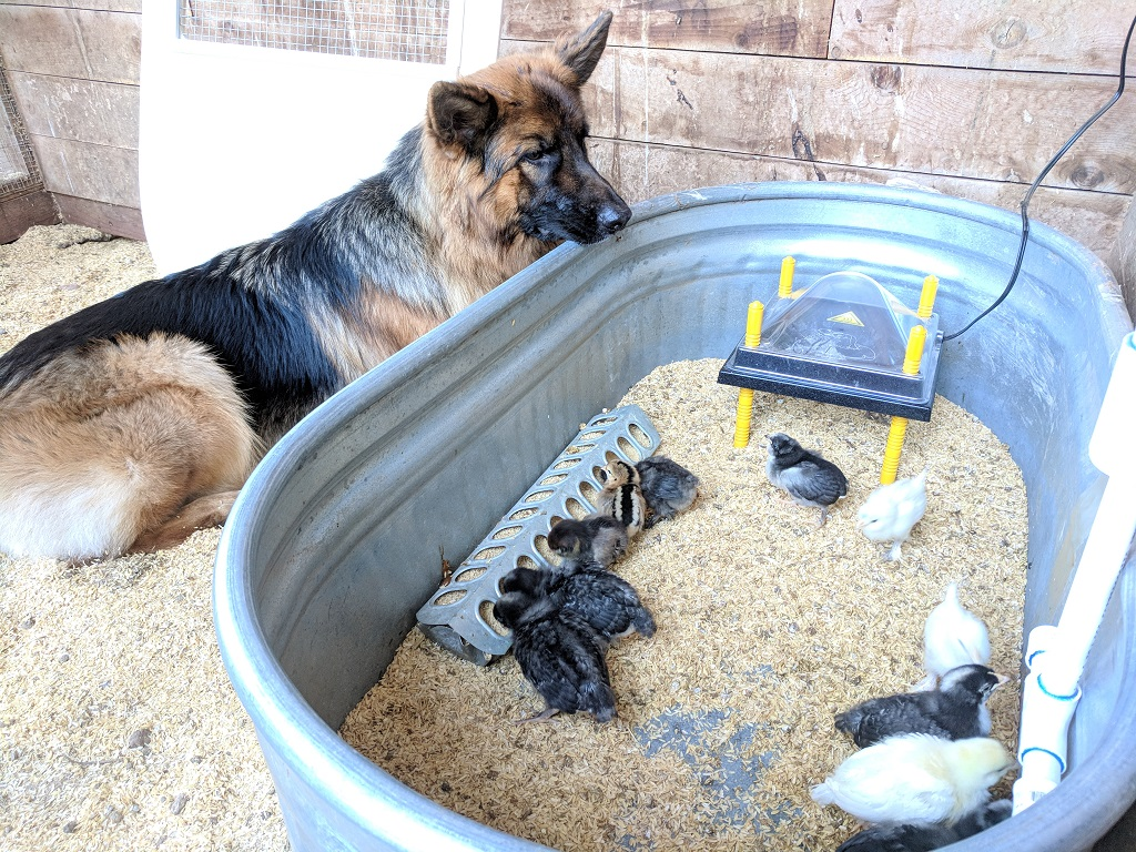 raising a german shepherd raising chickens page 8 german shepherd dog forums 299