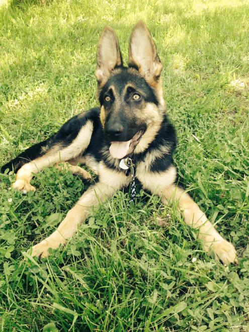First Time GSD owner with Training/development Questions-photo-19-.jpg