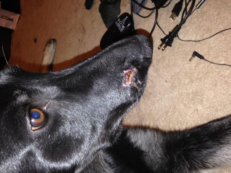 Puppy German Shepherd got hurt badly in boarding school.-photo-2.jpg