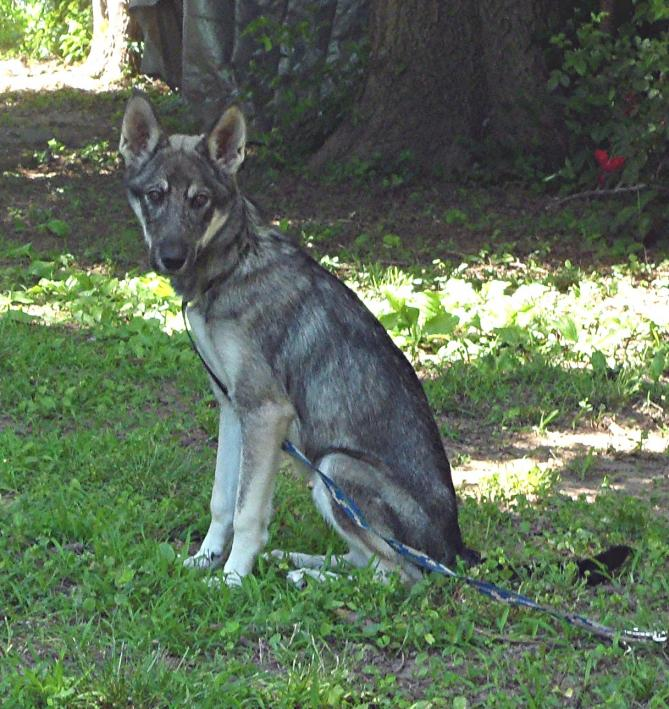 Coyote+German+Shepherd+Hybrid ... -does-puppy-look-like-german-sheperd ...