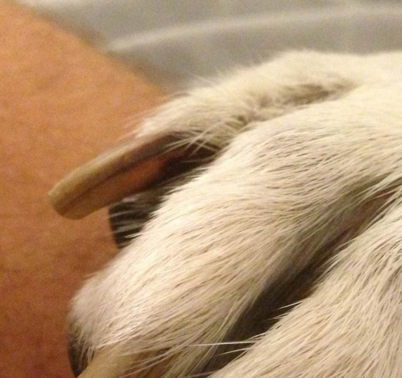 Dark Blood Forming Inside Nails German Shepherd Dog Forums