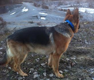 2yr Old GSD with Weak Pasterns (pictures)-picture-4.jpg
