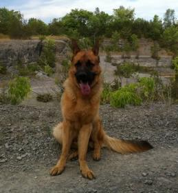 2yr Old GSD with Weak Pasterns (pictures)-picture-6.jpg