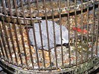African Grey Parrot-poorgrey-2.jpg