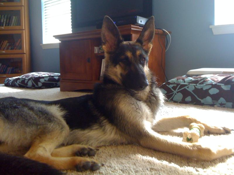 Need recommendation for a dog bed   German Shepherd Dog Forums