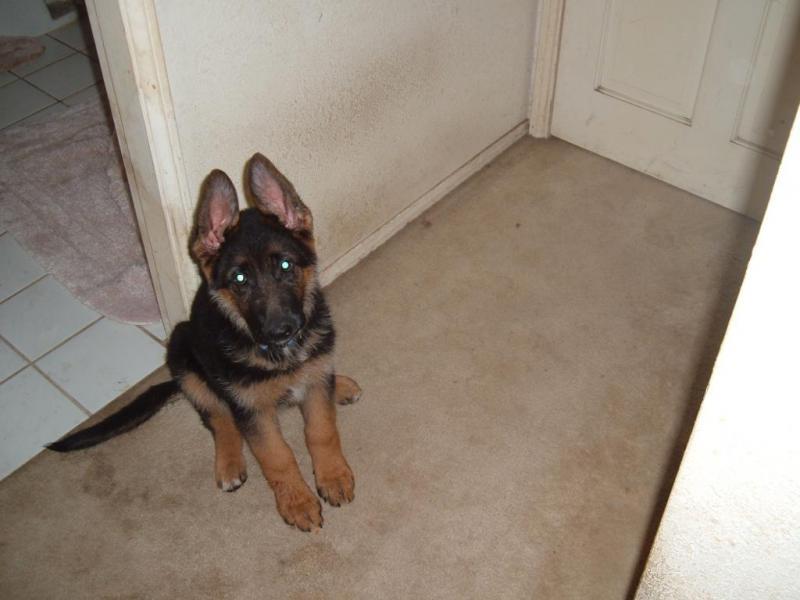 11 Week Old Gsd Weight Normal German Shepherd Dog Forums
