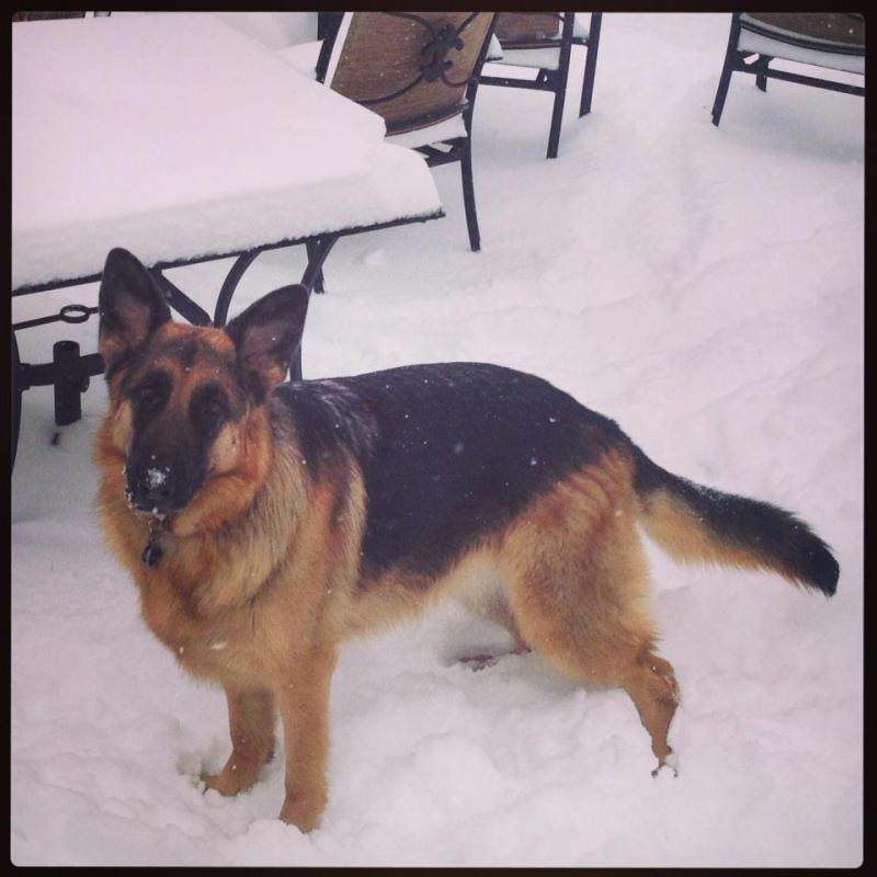 *Reegan 3 yr old PB GSD* Needs Rescued in Denver-reegan_snow.jpg