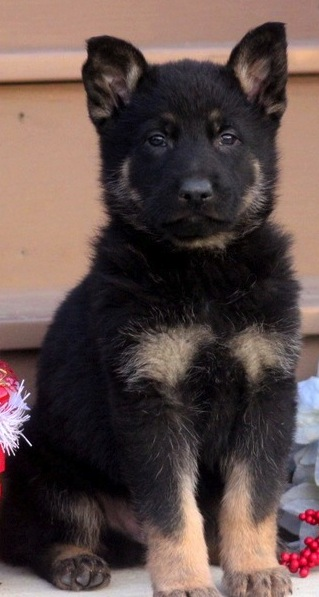 8 weeks old... pure or not? Opinions Please!-rico2.jpg