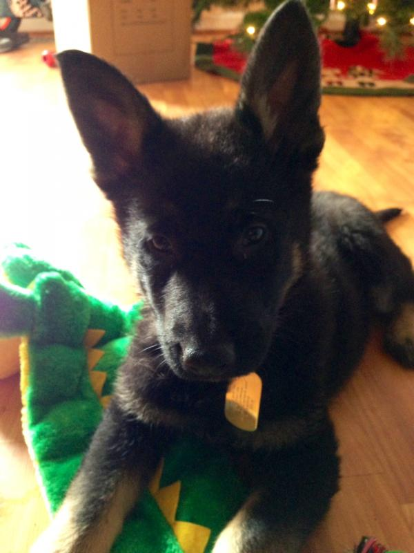 8 weeks old... pure or not? Opinions Please!-ricos-first-day-home.jpg