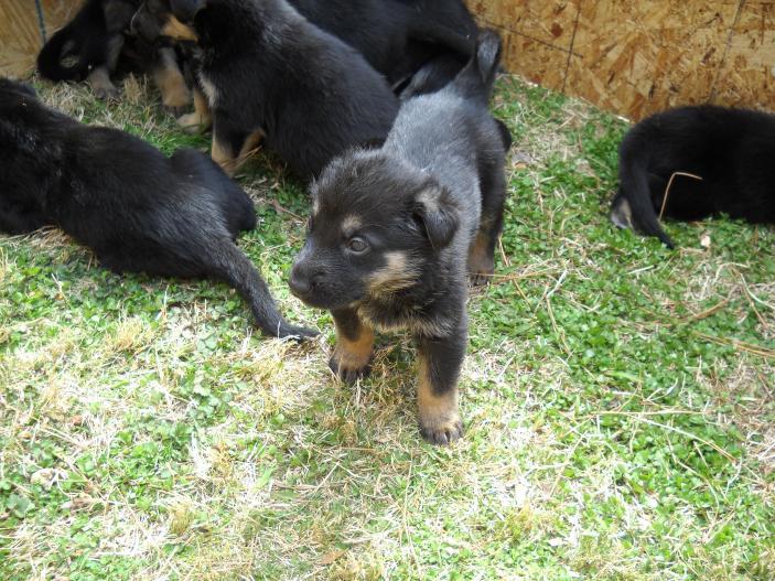 Puppy Pics-runt jpgGerman Shepherd Runt