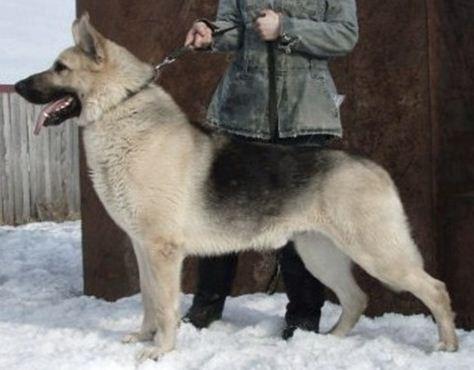 Russian Police K-9 Training...-rus-enkar.jpg
