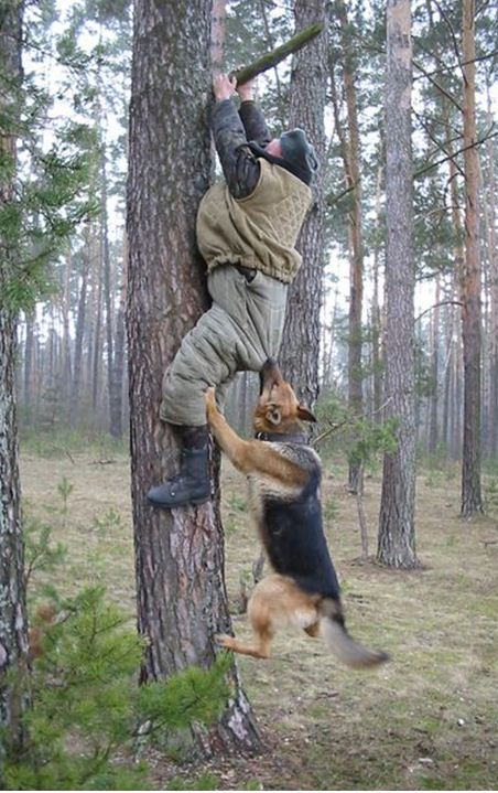 Russian Police K-9 Training...-russian-police-gsd-training.jpg