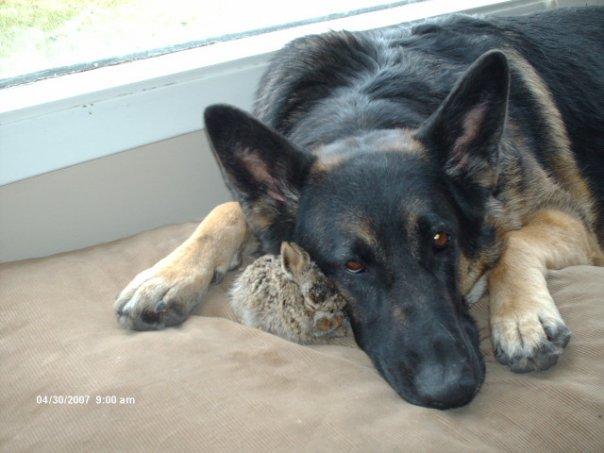 Introducing puppy to a rabbit-sabs-steve.jpg