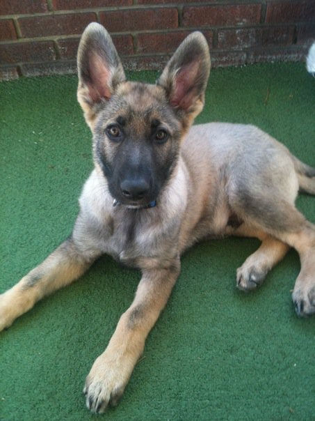 Sable German Shepherd color change-sampson.jpg