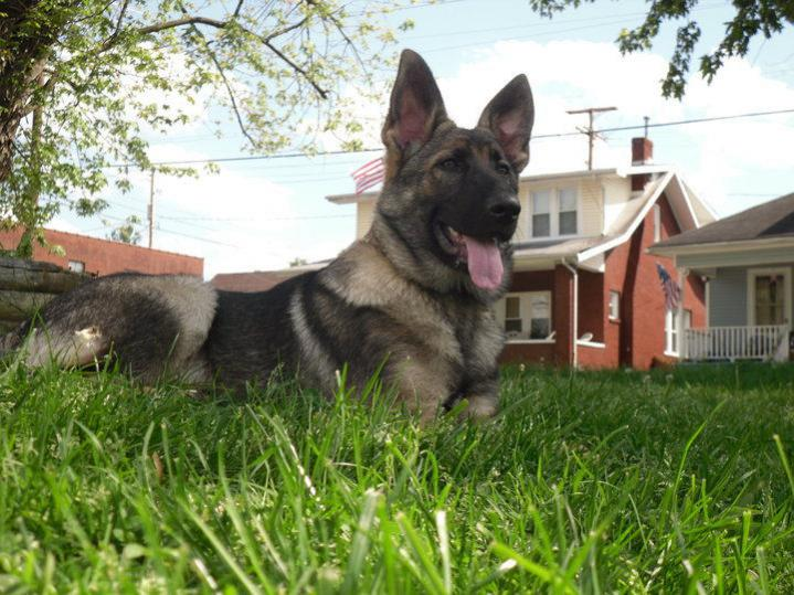 Sable German Shepherd color change-sampson1.jpg