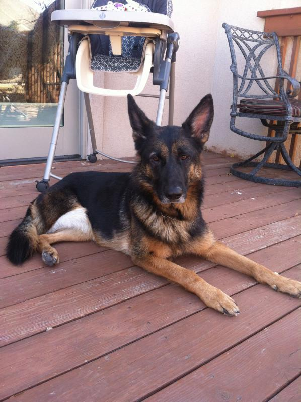 Female 6 y/o GSD Fort Collins, CO-sasha-adoption2.jpg