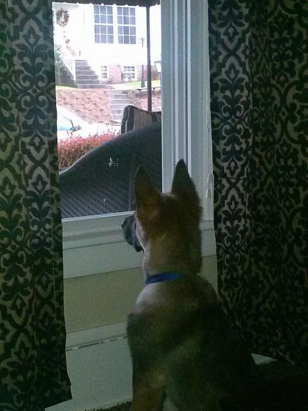New Member/First-time GSD owner-scout-window.jpg