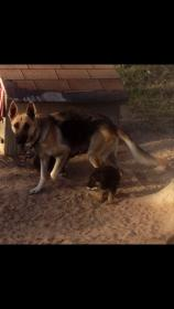 need help whether they are pure german shepherd-screenshot_2014-01-04-17-17-09.jpg