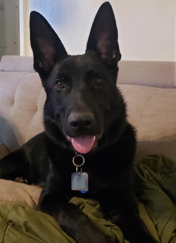 Just curious of my non papered gsd.-screenshot_20191020-223938_gallery_1571625674649.jpg