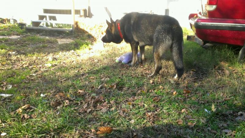 Ready to expand our GSD family,have minor aggression, need some help and information!-shadow-2012-f.jpg