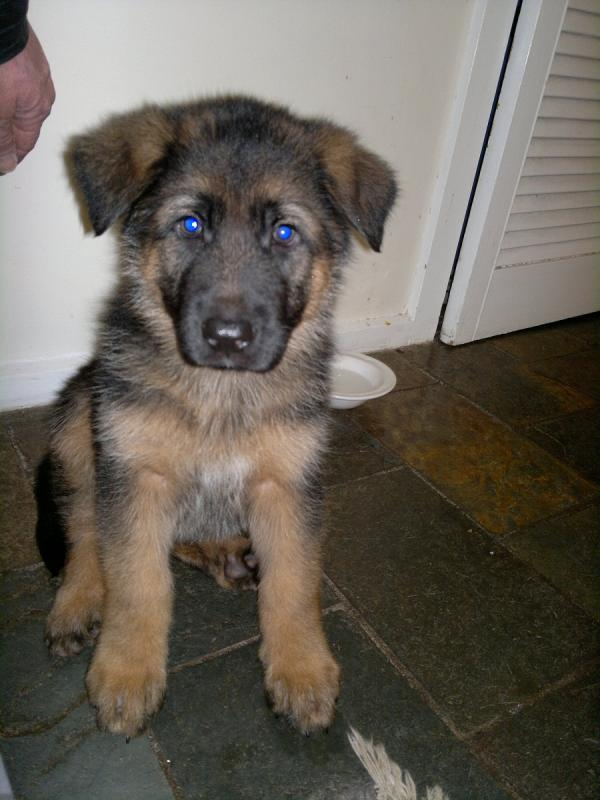 will my 6 month old gsd male s head grow larger german shepherd