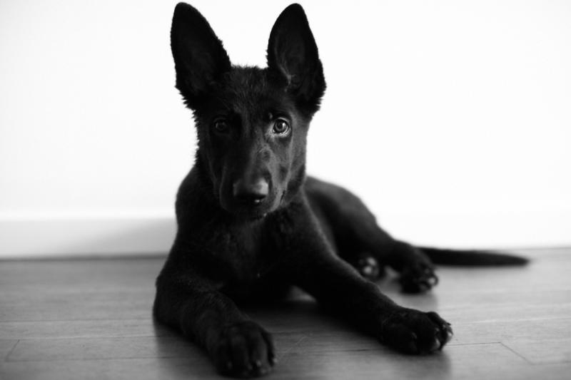 German Shepherd Female - needs a temporary home (Australia)-shot03_011.jpg