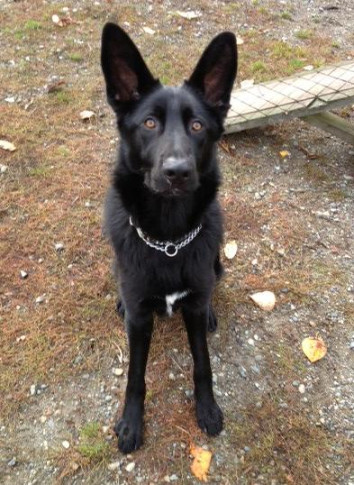 Surrey, BC, CANADA, Simba, male(n) 10 months-simba3.jpg