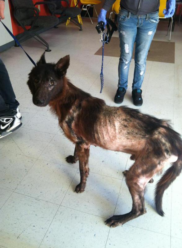 Foster Gsd Bit My Lab German Shepherd Dog Forums