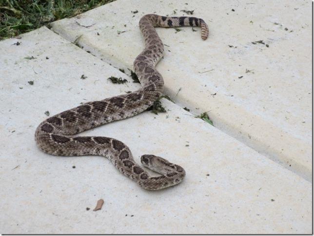 Snake Repellant/protection?-snake1.jpg