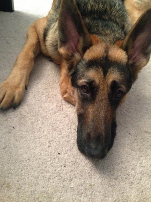 Funny Snout Face German Shepherd Dog Forums
