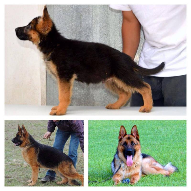 GSD 5 months old face problem-starks-sire-dam.jpg