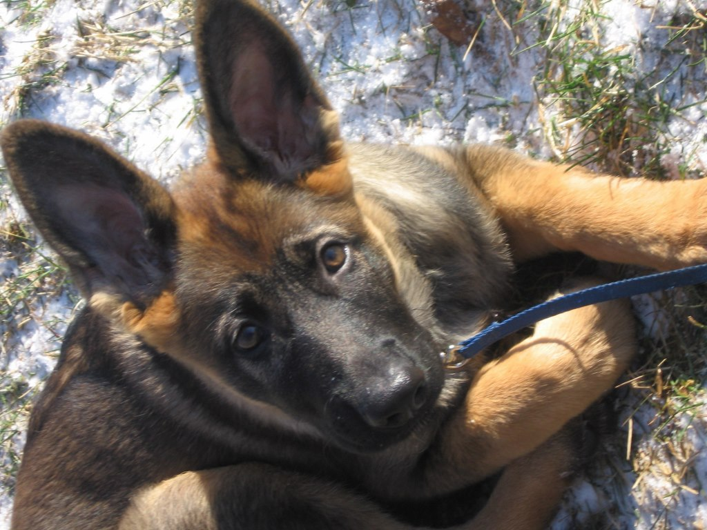 Anyone have a sable like mine? Adult photos?-t-pup.jpg