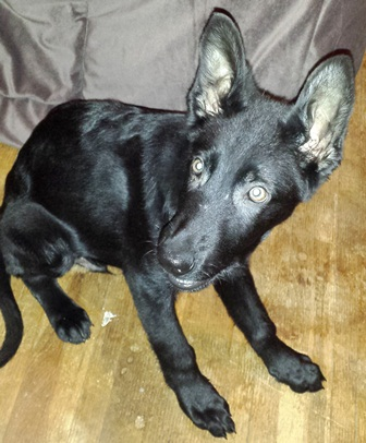 Beth here with Jack - my Black GSD-talking.jpg