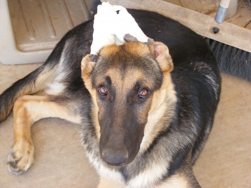 Taped German Shepherd Dog Forums