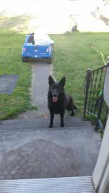 Luna 1 year old female black german shepherd-tmp_-242070378.jpg