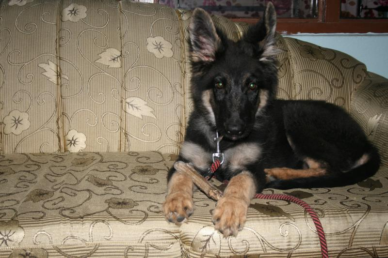 10 week old ears! Almost there!!-tyson-073.jpg