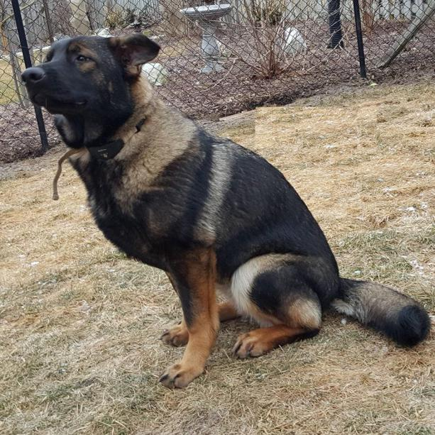 7 Month Old Female Ears Not Up German Shepherd Dog Forums