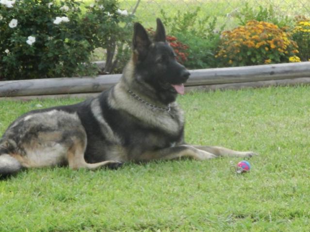 Show Me Your Sable Gsd German Shepherd Dog Forums