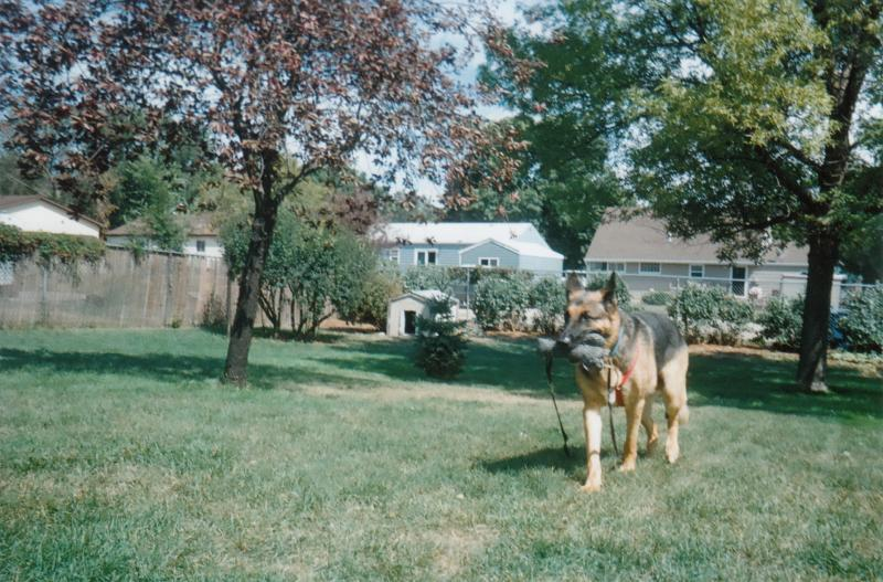 GSDs over 100lbs... How many ppl have one?-winning-tug-sting-age-6-aug.-2012.jpg