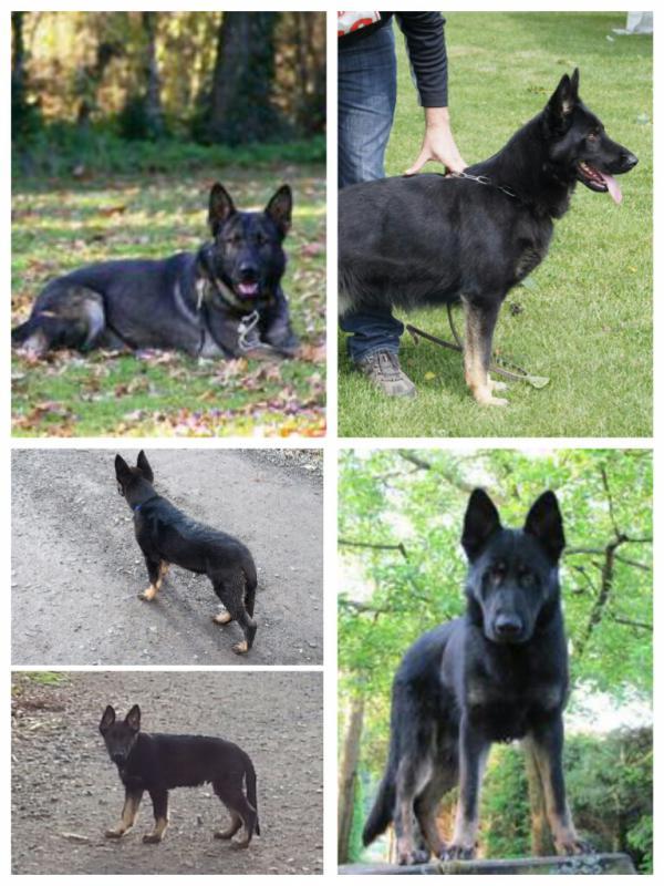 Black And Tan Or Bi Color German Shepherd Dog Forums