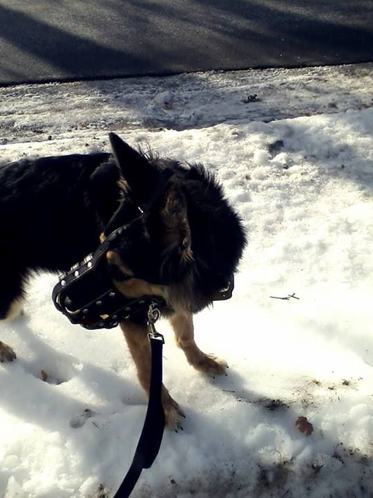 Pictures of Zelda's Muzzle :) (I Recommend this muzzle!)-zedla-her-muzzle2.jpg