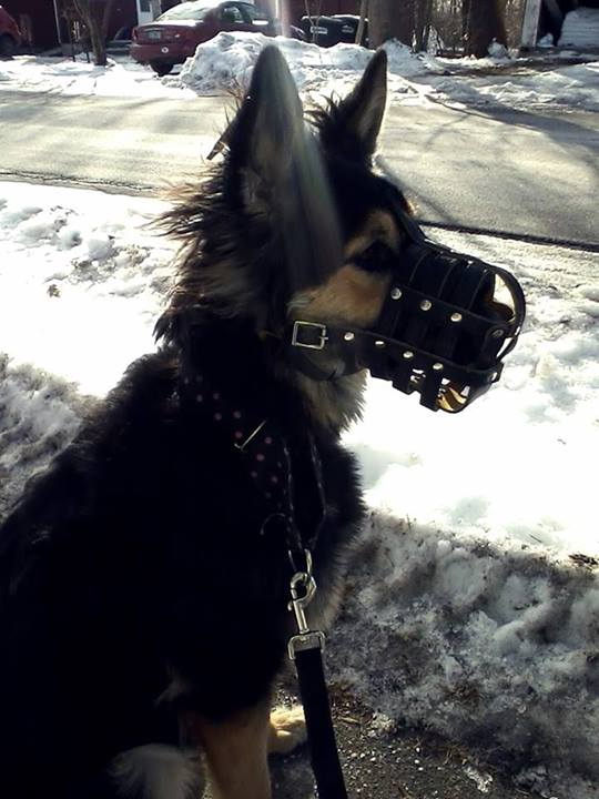 Pictures of Zelda's Muzzle :) (I Recommend this muzzle!)-zelda-her-muzzle.jpg