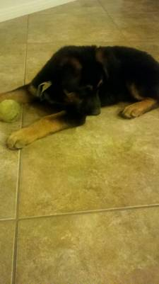 new gsd owner -- need advice please-zena2.jpg