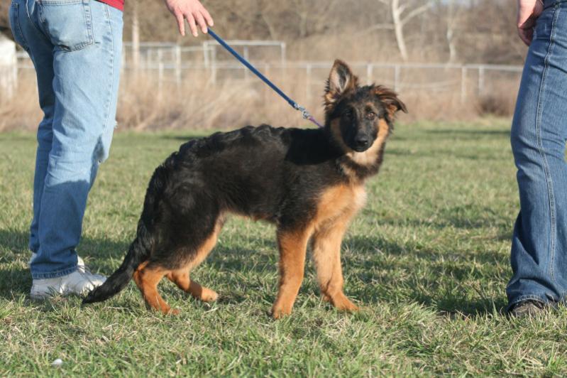 My new puppy, Frei vom der Gugge bloodline-zuzu-las-clases.jpg