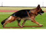 fig-84-fore-rar-excursion-distance-german-shepherd-dog-lcd-final_1.jpg